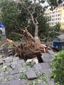 台風で倒れた木-1